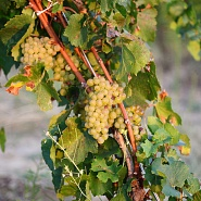 La vite | Vini Botromagno | Vigneti e Cantine