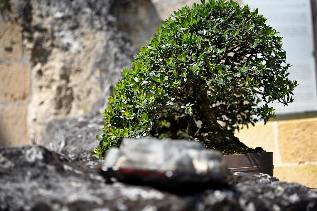 Mostra di Bonsai e suiseki | Sonzai Presenze | Matera 2019